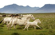 Wild Horse Photo Metal Prints - Running Wild In Iceland Metal Print by Gigja Einarsdottir