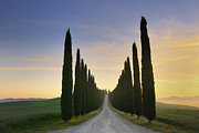 Italian Cypress Photo Posters - Rural Road Lined With Cypress Trees Poster by Cornelia Doerr