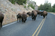 Bison Photo Metal Prints - Rush Hour Metal Print by Michael Peychich