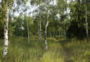 Birchtrees Photos - Russia by Svetlana Sewell