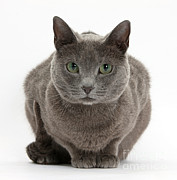 Russian Blue Cat Print by Mark Taylor