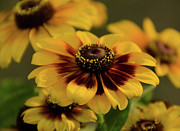 Flowers Photo Originals - Rustic Rudbeckia by Maria Suhr