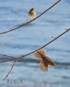 Branch Art - Rusty Capped Sparrows Male and Female by Bob Orsillo