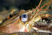 Crawfish Photos - Rusty Crayfish Orconectes Rusticus by Ted Kinsman