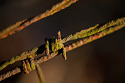 Barbs Prints - Rusty Old Barbed Wire Print by Wilma  Birdwell