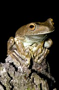 Tree Frog Prints - Rusty Treefrog Male Print by Tony Camacho