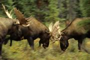 Bull Moose Posters - Rutting Bull Moose Fighting Poster by Michael S. Quinton