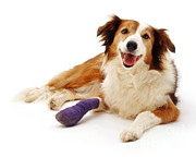 Pet Health Posters - Sable Border Collie Lark With Bandaged Poster by Jane Burton