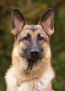 Alsatian Posters - Sable German Shepherd Dog Poster by Sandy Keeton