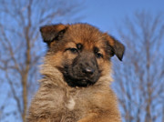 Shepherds Posters - Sable German Shepherd Puppy II Poster by Sandy Keeton