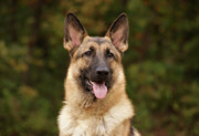 Shepherds Posters - Sable German Shepherd Poster by Sandy Keeton