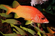 Schools Metal Prints - Sabre Squirrelfish Metal Print by Sami Sarkis