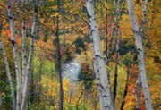 Saco River Framed Prints - Saco River and Birches Framed Print by John Burk