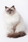 Sitting Photos - Sacred Birman Cat With Blue Eyes by MariaR