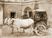 Headdresses Photos - Sacred Bullocks Pulling Carriage of Nautch Girls 1922 by Padre Art