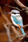 Kingfisher Prints - Sacred KingFisher Print by Mike  Dawson