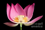 Lotuses Framed Prints - Sacred Lotus Nelumbo Nucifera Framed Print by Ted Kinsman