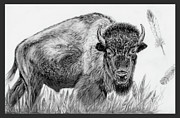American Bison Drawings Prints - Sacred Print by Teresa Vecere