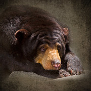 Malaysia Digital Art Framed Prints - Sad Sun Bear Framed Print by Louise Heusinkveld