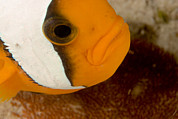 Portaits Prints - Saddleback Anemonefish Amphiprion Print by Tim Laman
