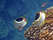Colorful Tropical Fish  Photos - Saddleback Butterflyfish by Bette Phelan