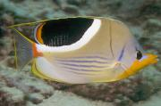 Saddleback Prints - Saddleback Butterflyfish Print by Dave Fleetham - Printscapes