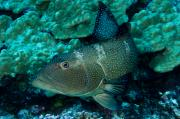 Saddleback Prints - Saddleback Coralgrouper Plectropomus Print by Tim Laman