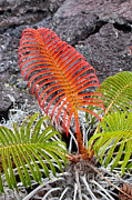 Frond Prints - Sadleria Fern, Hawaii Print by Greg Dimijian