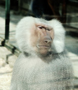 Zoo Photo Originals - Sadness by Ivan Vukelic