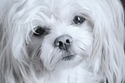 Maltese Dog Posters - Sadness Poster by Lisa  DiFruscio
