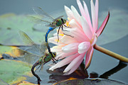 Dragonflies Mating Photos - Safe Place To Land by Fraida Gutovich