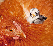 Gallus Gallus Posters - Safety of Mama Hen Poster by Sari ONeal