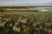 Marsh Prints - Sage Prairie And Marsh In Upper Souris Print by Gerry Ellis