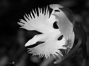 Mccombie Photos - Sagi-so or Crane Orchid named Japanese Egret Flower by J McCombie