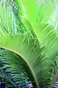 Frond Digital Art Prints - Sago Study Print by Suzanne Gaff