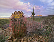 Barrel Cactus Posters - Saguaro And Giant Barrel Cactus Poster by Tim Fitzharris