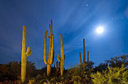 Moonlit Night Photos - Saguaro Cacti  by David Nunuk