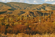 Succulents Landscape Posters - Saguaro Cactus - A very unusual looking tree of the desert Poster by Christine Till