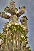 Tracey Hunnewell Framed Prints - Saguaro Cactus in Bloom Framed Print by Tracey Hunnewell