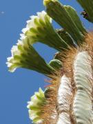 Sandy Farley - Saguaro Flowers