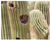 Birds. Thorns Prints - Saguaro Home Print by Andreas Hohl