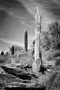 Saguaros Posters - Saguaro Skeleton BW Poster by Kelley King