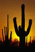 Dramatic Light Posters - Saguaro Sunset Poster by Sandra Bronstein