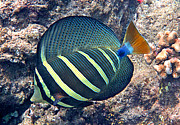 Hawaiian Fish Framed Prints - Sailfin Tang Expanded Framed Print by Bette Phelan
