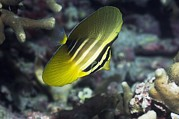 Indonesian Wildlife Prints - Sailfin Tang Print by Georgette Douwma