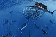 Mujeres Prints - Sailfish Drive Their Prey Print by Paul Nicklen