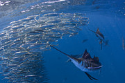 Mujeres Prints - Sailfish Hunt Sardines Using Print by Paul Nicklen