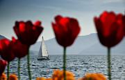 Sailing Boat And Tulip Print by Mats Silvan