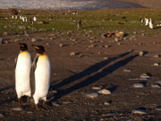 Penguins Photos - Saint Andrews Bay South Georgia 55 by Per Lidvall