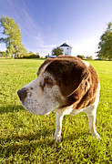 Cute Dog Digital Art - Saint Bernard dog on Hecla Island Manitoba by Mark Duffy